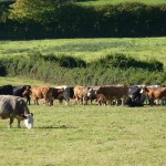 Cattle in Daccombe fields
